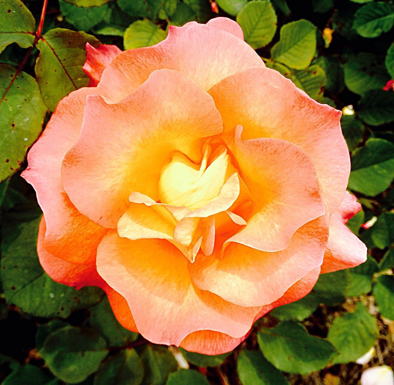Peach Rose Park Peach Rose Leaves California The Essence Of Summer Colour Of Life
