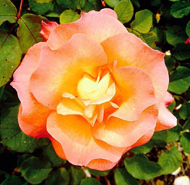 Peach Rose Park Peach Rose Leaves California The Essence Of Summer Colour Of Life
