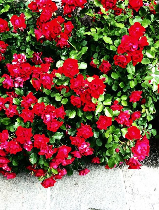 Roses Rose🌹 Red Flowers Roses Are Red Roses Flowers  Red Sissi'sGardens Wonderful Photography Finally Spring Beautiful Nature Primavera Vintage Colourful Happy Colors Photo