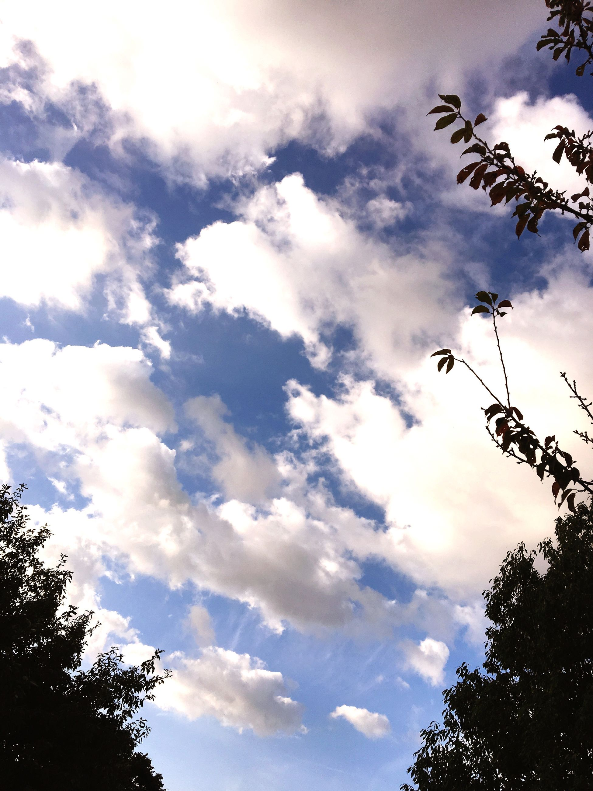 low angle view, tree, sky, cloud - sky, scenics, beauty in nature, tranquility, tranquil scene, nature, cloud, growth, blue, cloudy, branch, day, outdoors, treetop, cloudscape, non-urban scene, tall - high, majestic, tree top, no people, cumulus cloud