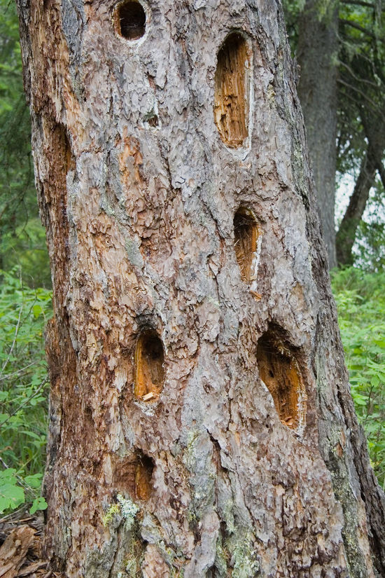 many holes in the bole of a giant tree - damage to the forests Bark Bole Canada Close-up Damaged Dendrology Dieback Environment Environmental Damage Forest Giant Tree Growth Hole Low Section Nature No People Pest Protection Siviculture Tree Tree Trunk Uncultivated Waldsterben Wilderness Woods