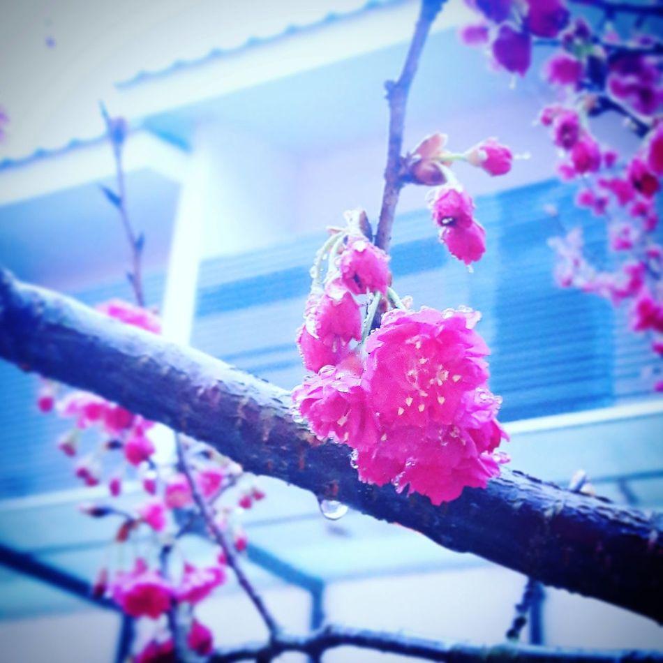 Taiwan 苗栗 三義 櫻花