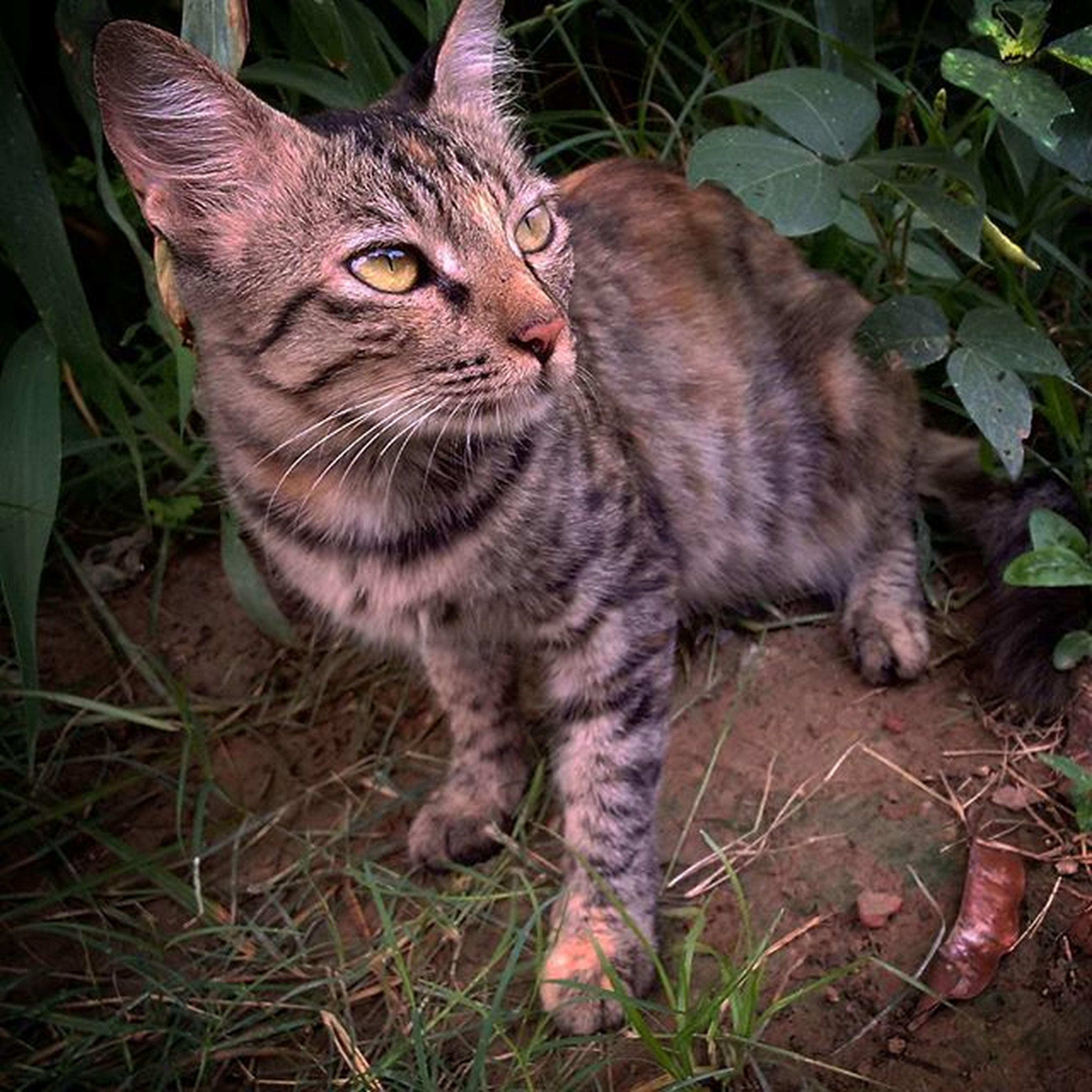 domestic cat, pets, domestic animals, cat, one animal, animal themes, mammal, feline, whisker, grass, portrait, looking at camera, alertness, close-up, sitting, field, high angle view, no people, relaxation