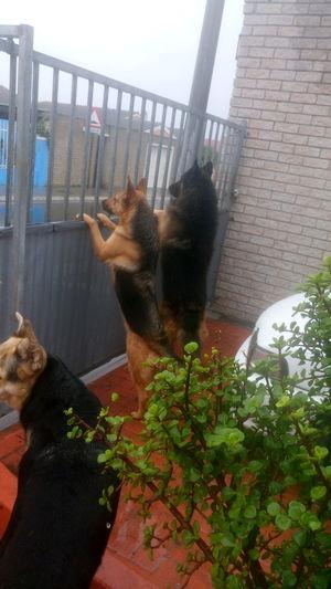Domestic Animals Mans Best Friend❤️ Alsatian