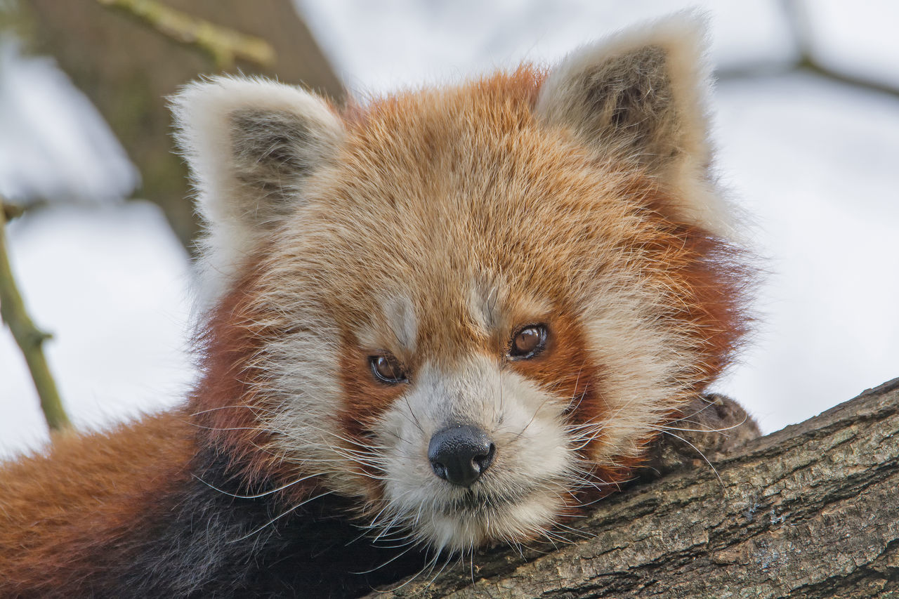 Animal Themes Animal Wildlife Animals In The Wild Brown Close-up Day Looking At Camera Mammal Nature No People One Animal Outdoors Portrait Red Panda Red Panda Tree