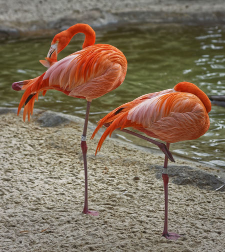 Flamingo Animal Themes Animal Wildlife Animals In The Wild Beauty In Nature Bird Close-up Day Flamingo Full Length Nature No People Outdoors Water EyeEmNewHere