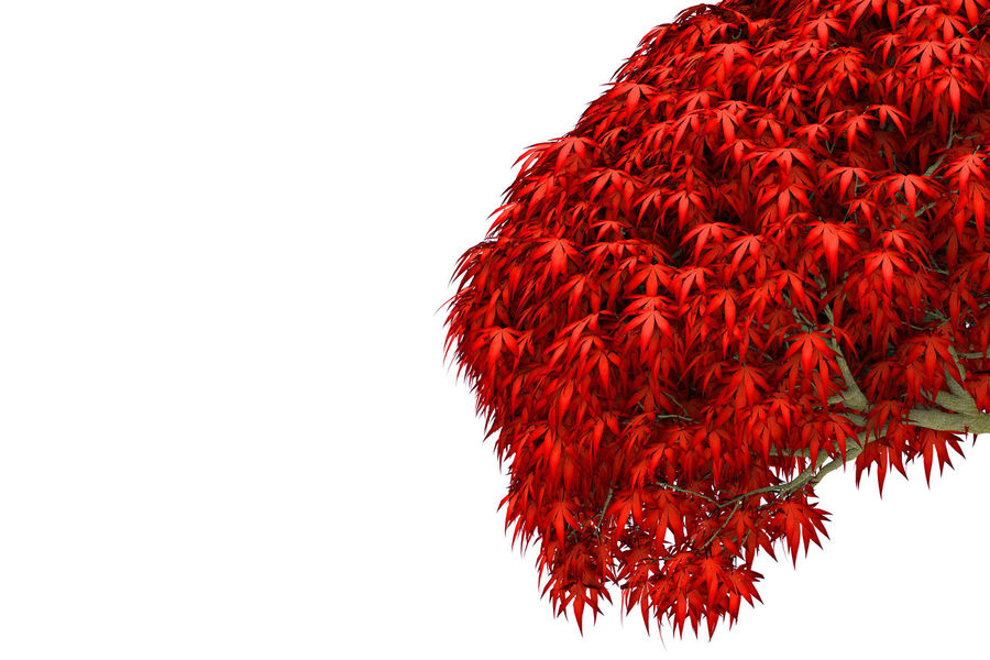 red maple leaves tree on white background. Natura Autumn Beauty Branch Color Copy Space Day Leaf Leaves Low Angle View Maple Leaf Nature Outdoor Red Season Change Studio Shot Tree White Background