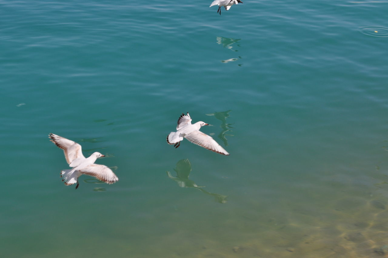 animal themes, animals in the wild, water, animal wildlife, high angle view, nature, day, bird, swimming, waterfront, outdoors, no people, lake, spread wings, swan, flying, mammal