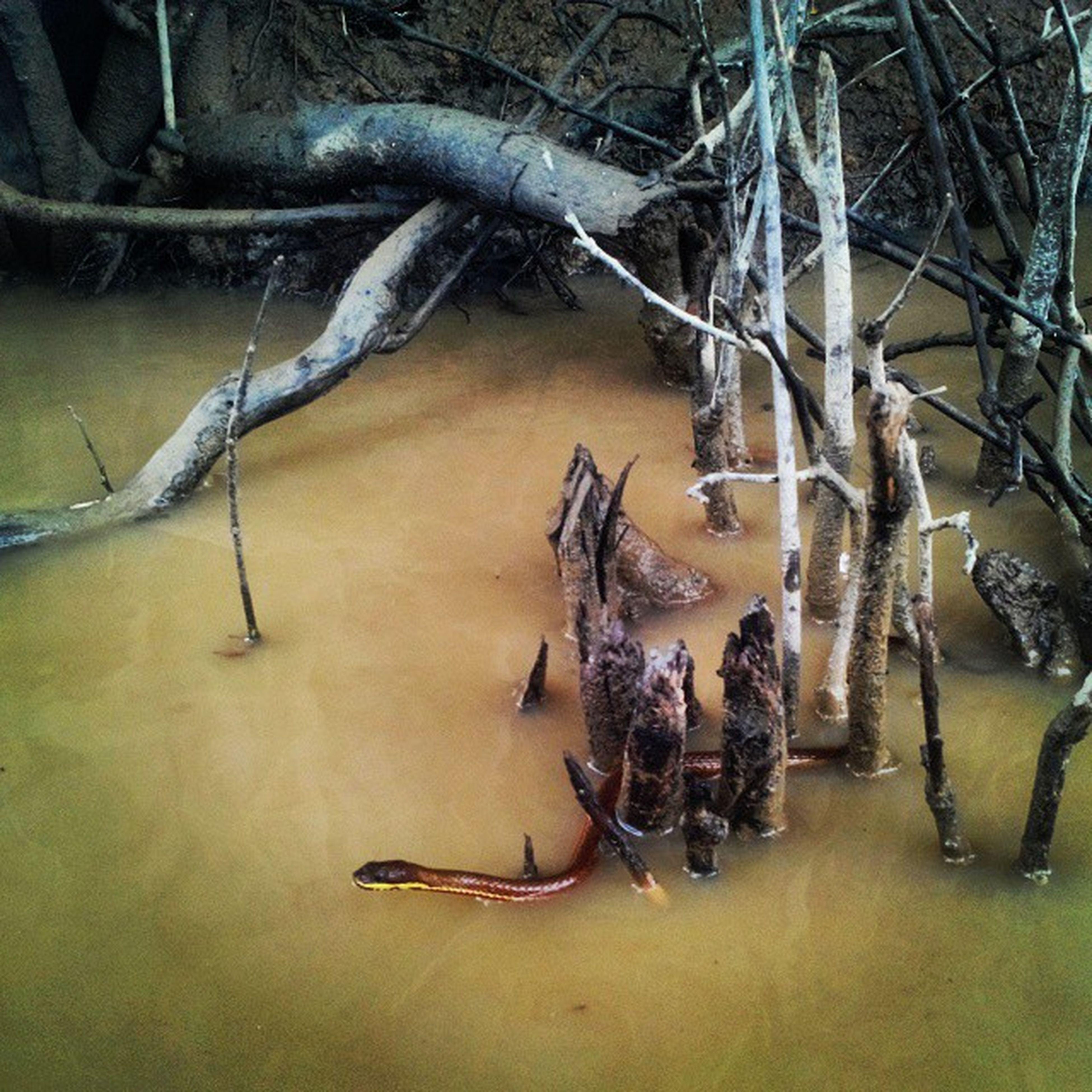 খগম... Snake Ratargul SwampForest Water camouflage ReadyToStrike