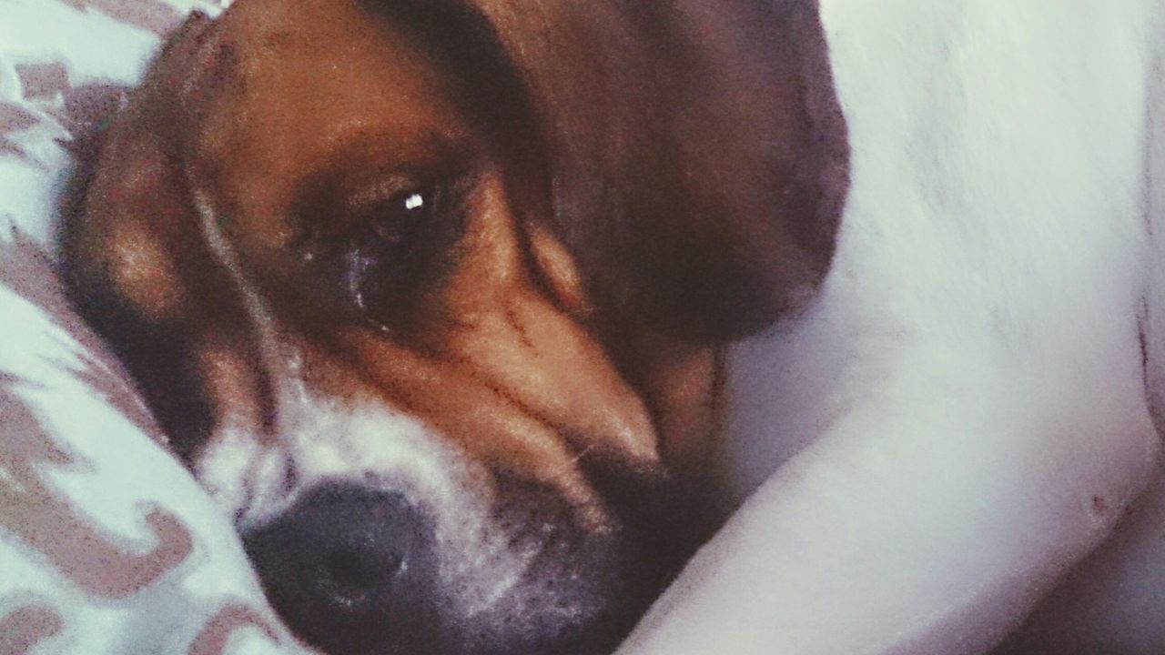 Macro Beauty Petselfie When Boredom Strikes. Beabulls Sleepybeabull Sammythebeabull Sammy♡