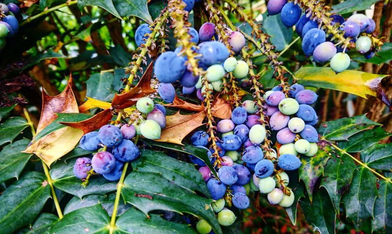 Leaf Nature Growth Outdoors Day Beauty In Nature Fruit Bunch No People Food And Drink Plant Autumn Tree Blueberries Close-up Branch Flower Flower Head