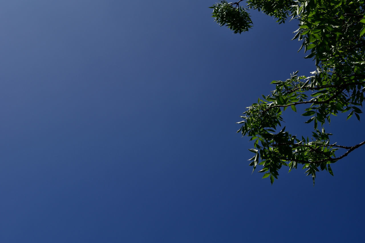 blue, clear sky, nature, tree, growth, low angle view, blue sky, sunshine, no people, outdoors, day