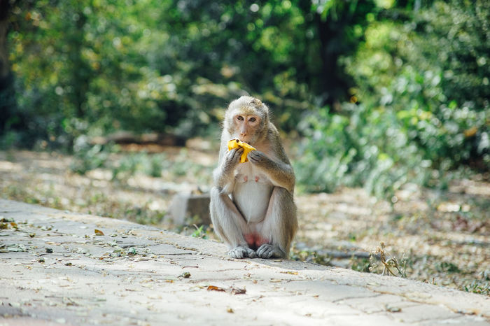 Animal Animal Themes Animal Wildlife Animals In The Wild Banana Beauty In Nature Day Eating Looking At Camera Mammal Monkey Monkeys Nature No People One Animal Outdoors Sitting EyeEm Selects Sommergefühle