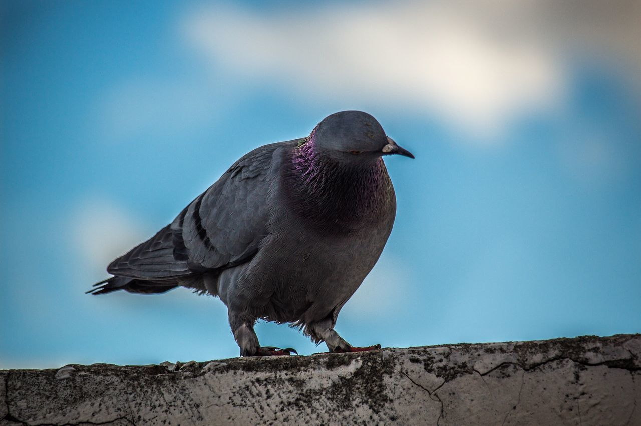 bird, animal themes, one animal, animals in the wild, no people, animal wildlife, close-up, outdoors, perching, sky, day
