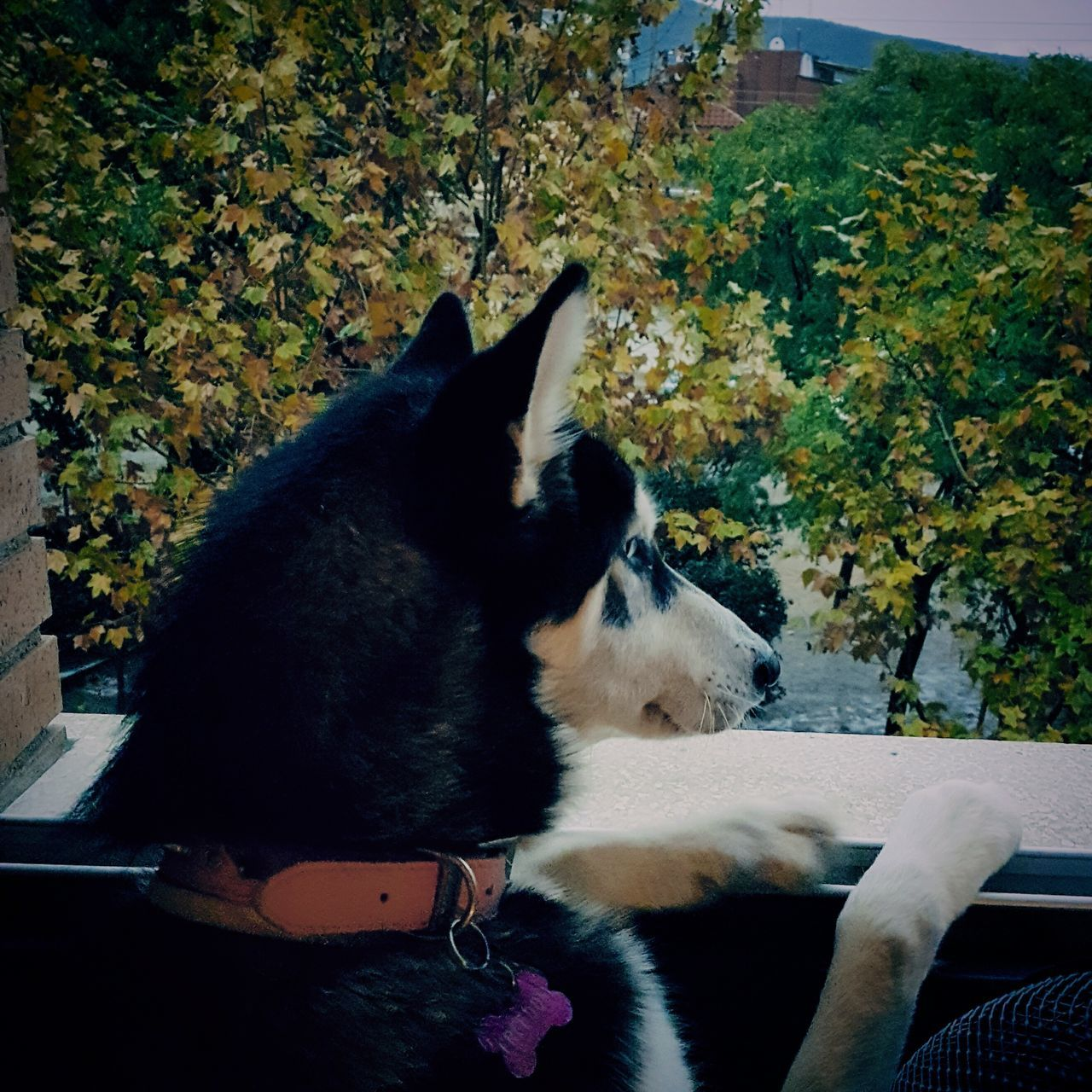 Still raining outside?? Babyfreedom Siberianhusky