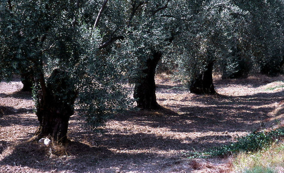 plantation Beauty In Nature Day Greek Olives Growth Nature No People Olive Plantatio Olive Trees Outdoors Scenics Shadow Sunlight Tranquil Scene Tranquility Tree Tree Trunk