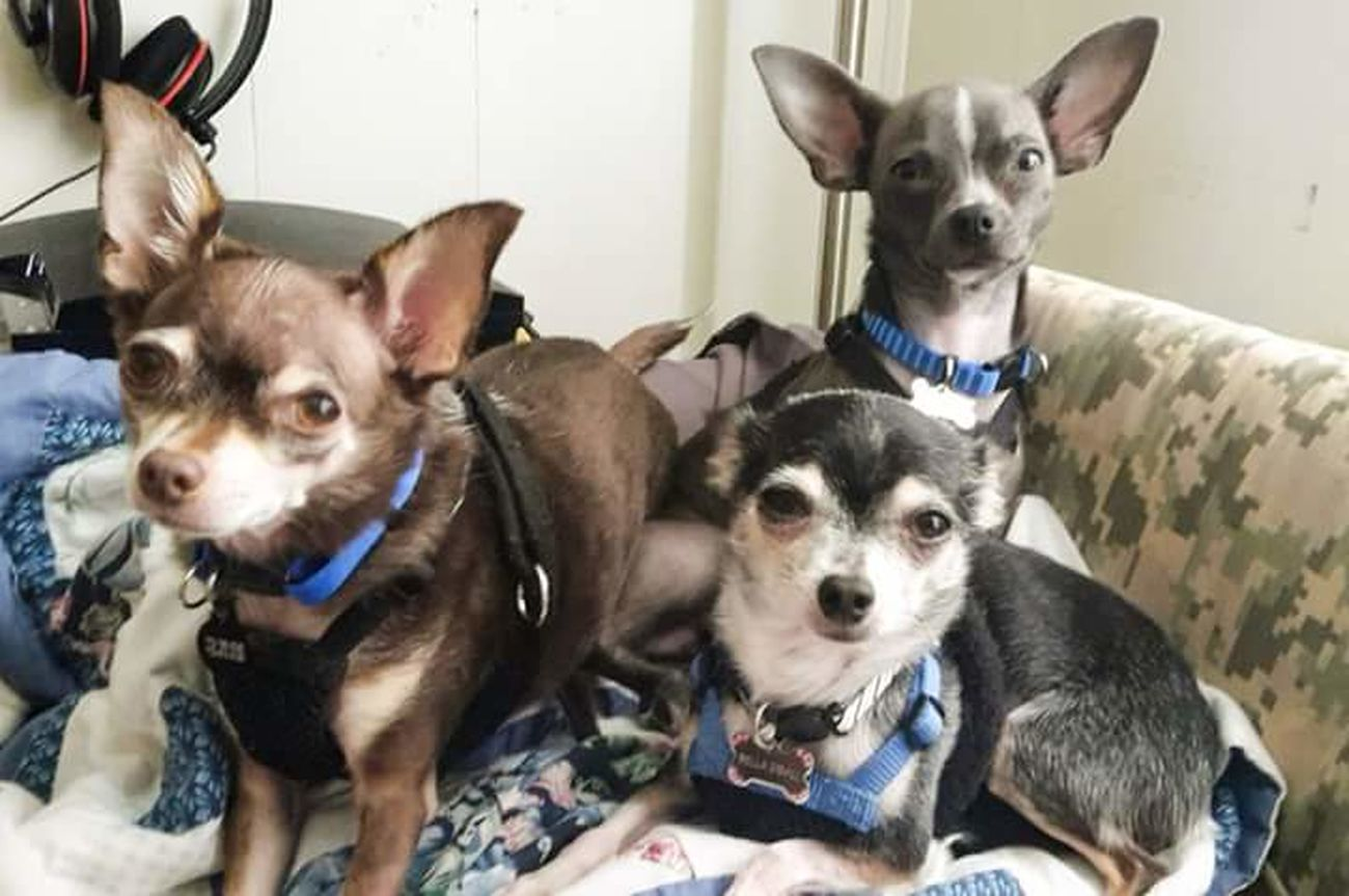 Rare Moment Kilo Bella Bella and Odie Looking At Camera Pampered Pets Chihuahua Lovers. Cu-Jose Hanging Out My Best Friend Chihuahua Lovers Chihuahua My Dogs Are Cooler Than Your Kids Chihuahuas<3 Happy Dogs