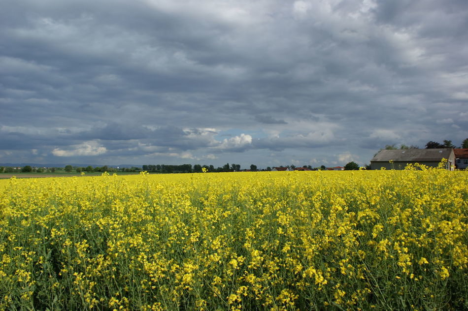Beauty In Nature Contrast Crop  Dark Sky With Flowers Field Field Of Flowers Landscape Skyline Tranquil Scene Yellow Yellow Field Yellow Flowers