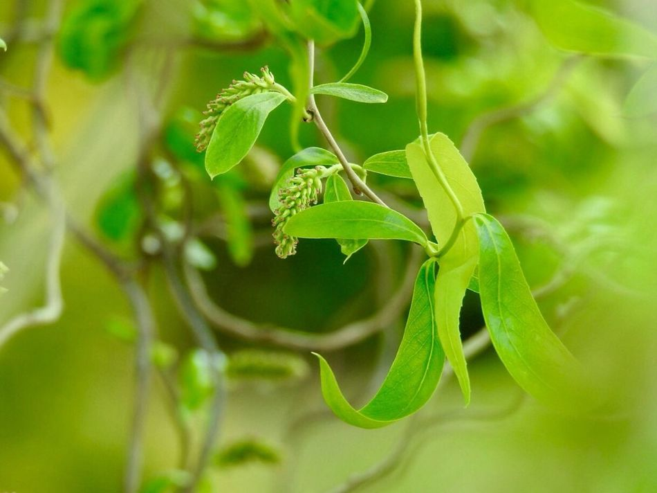 Willow Tree Springtime Close-up Leaf Green Color Nature No People Plant