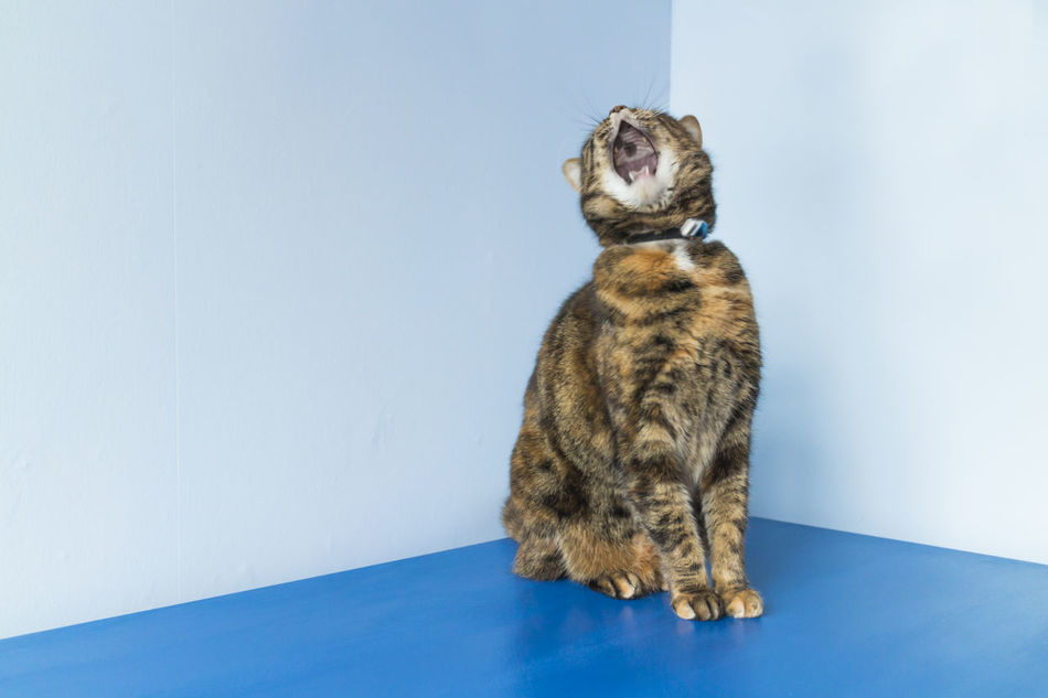 Yawning Cat Animal Themes Blue Cat Cat Yawns Corner Indoors  Mammal Minimal No People One Animal Pets Simple Vivid Blue Yawn Adapted To The City