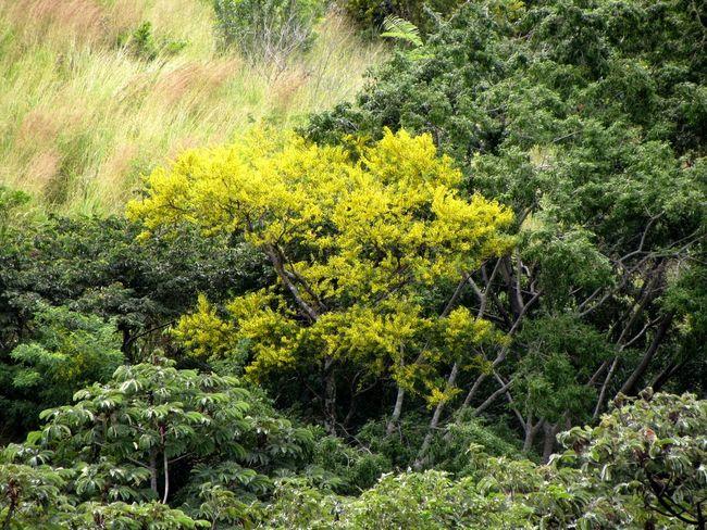 Flowering guachipelín tree (Árbol de guachipelín en flor). Beauty In Nature Costa Rica Nature Outdoors Peaceful Tree Yellow Yellow Flowers Diphysa Americana
