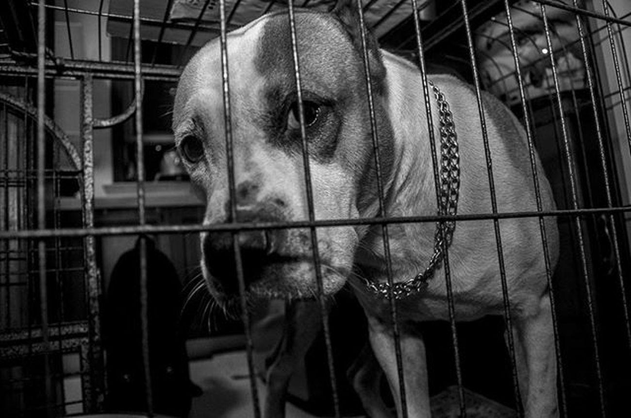 Bestoftheday Pitbull Dailydog Instadog Instapet Petstagram Petsofinstagram Dogstagram Dogsofinstagram Ilovemypet Instabest