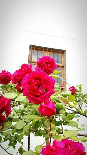 Flowers Lovely Roses Roses First Eyeem Photo Rose Bush Red Roses Lovely Flowers I Love Flowers<3 Happy Insects On Flower Head Bee Bee And Flower Bee On The Flower 🐝