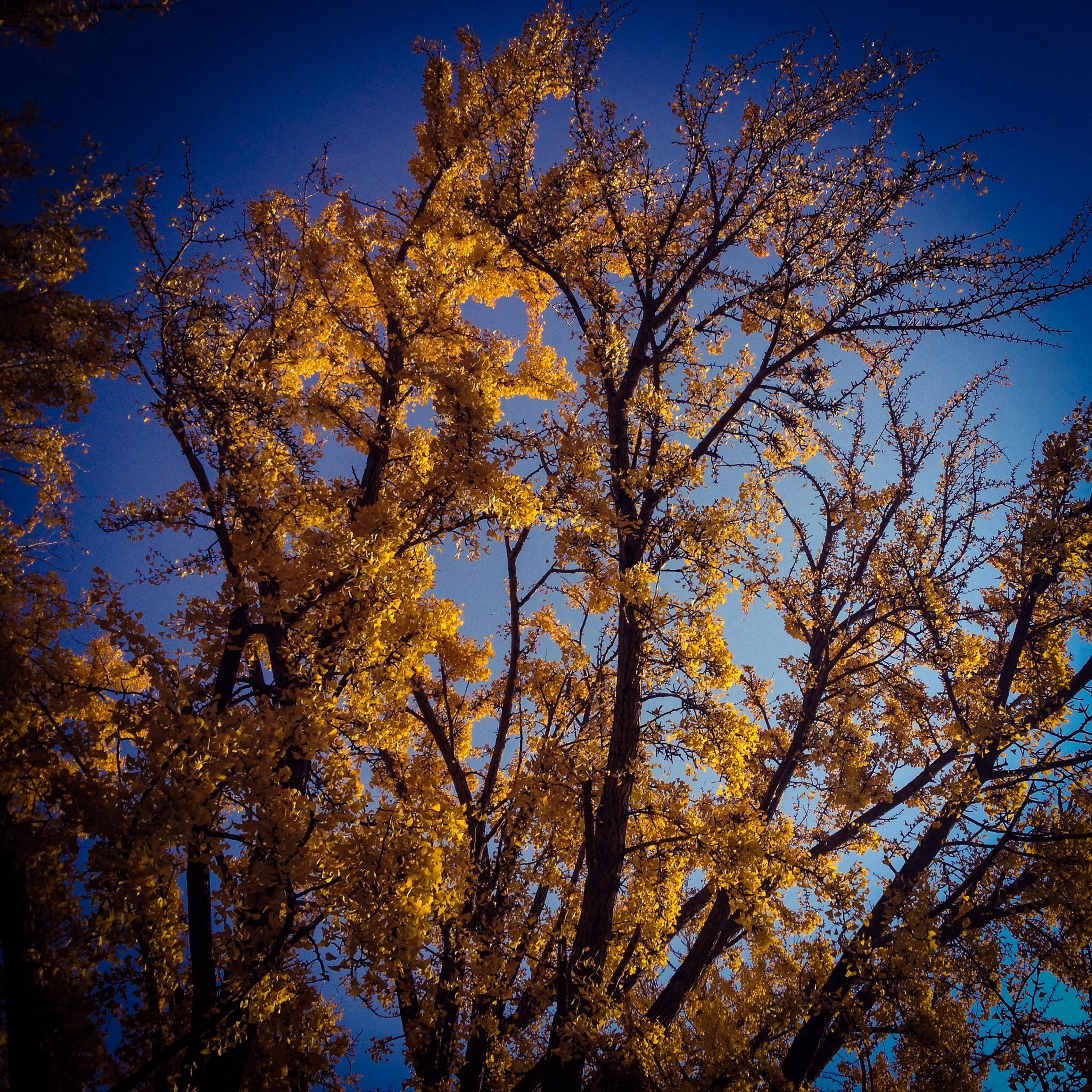tree, low angle view, growth, clear sky, branch, blue, nature, beauty in nature, tranquility, sunlight, yellow, sky, outdoors, no people, scenics, day, tranquil scene, autumn, flower, freshness