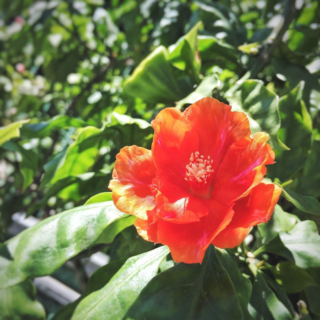 """""""Her beauty is beyond like other, and because of that, she is doomed to suffer. """" Flower Nature Beauty In Nature Growth Plant Petal Outdoors Day Leaf Fragility Close-up Freshness Red Wild Cycle Symbolism"""