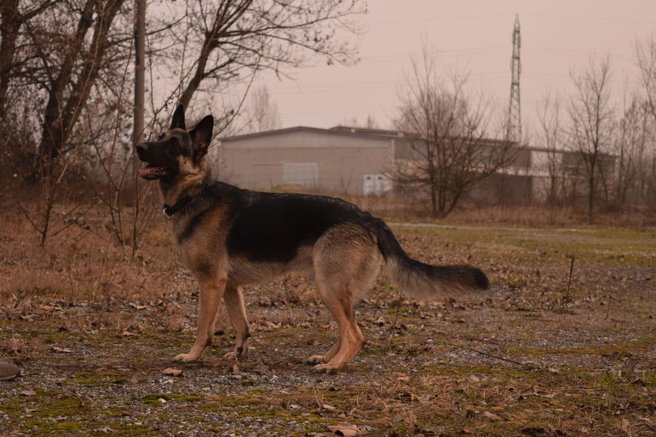 Beautiful stock photos of german shepherd, Animal Themes, Architecture, Building Exterior, Built Structure