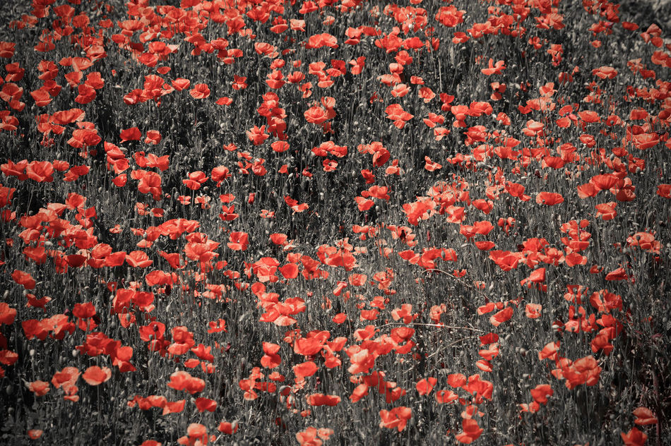 poppy Backgrounds Beauty In Nature Close-up Day Flower Flower Head Fragility Freshness Full Frame Growth Nature No People Outdoors Plant Poppy Poppy Fields Poppy Flower Poppy Flowers Red Tree