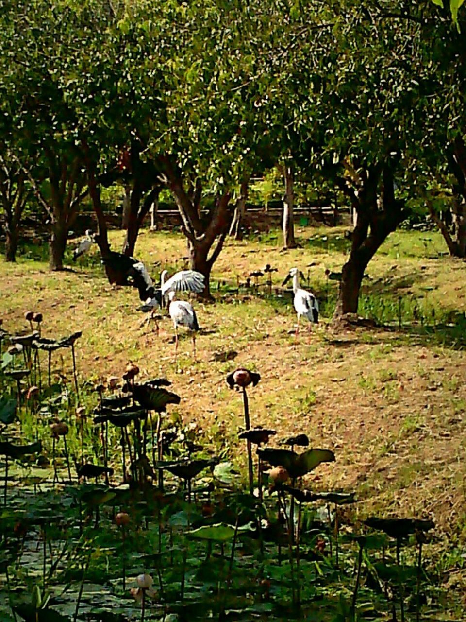 animal themes, animals in the wild, bird, tree, nature, animal wildlife, day, no people, outdoors, growth, lake, stork, large group of animals, beauty in nature, white stork, grass, mammal