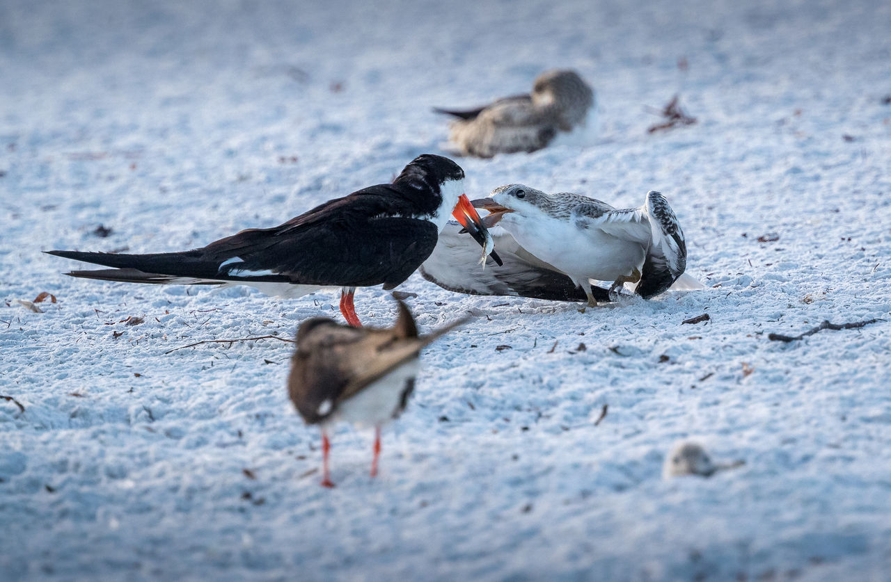 Black Skimmer feeding chick Feeding  Animal Themes Animal Wildlife Animals In The Wild Beach Bird Chick Close-up Day Fish Nature No People Outdoors Sand Skimmer Togetherness Water Young Bird