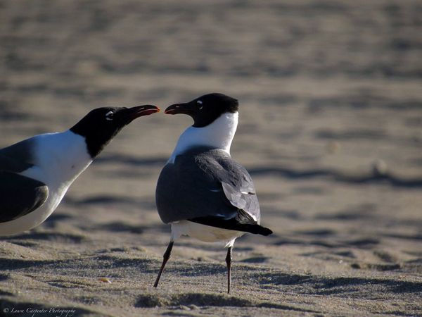 Kisses for me? Seagull Serenity Seagull Kisses Seagull Photography Bird Love Animal Wildlife No People Beach Wildlife