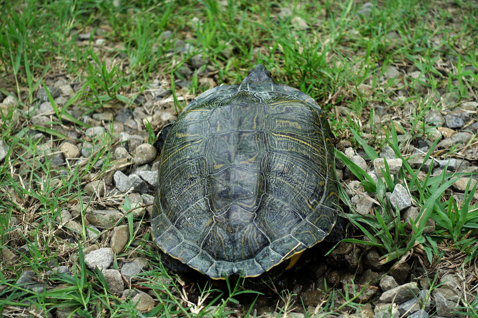 Animal Shell Animal Themes Animal Wildlife Animals In The Wild Close-up Day Field Grass High Angle View Nature No People One Animal Outdoors Reptile Sea Turtle Tortoise Tortoise Shell Turtle