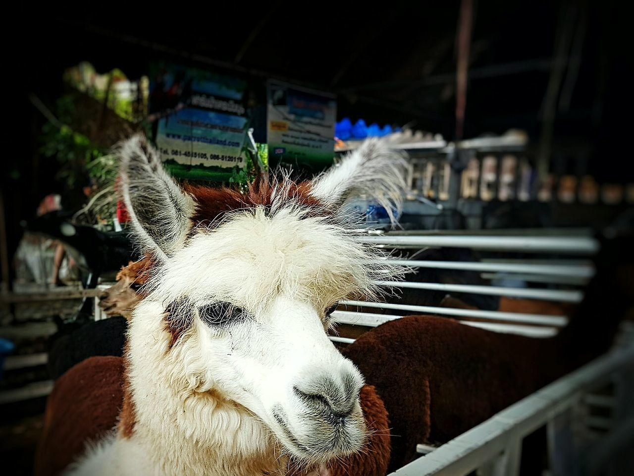 Alpaca Animals Animal Photography Animal Portrait Bangkok Thailand Thailand Bangkok Kwan Riam Market First Eyeem Photo Animals Should Be Free