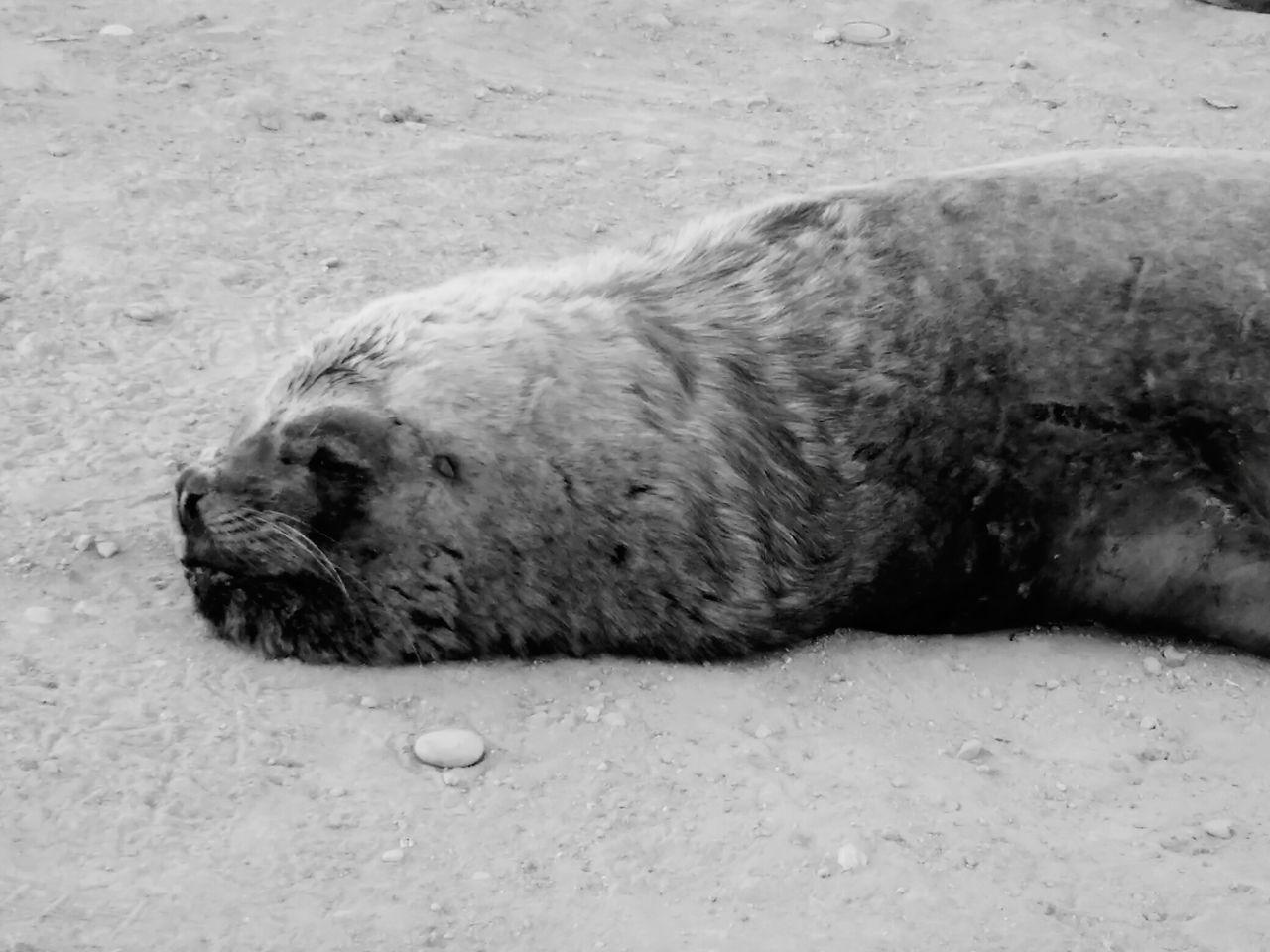 Relaxing Sleeping Enjoying Life Animals Motorola Photography Cheese! Lobo Marino Chile Nature Mar Black And White