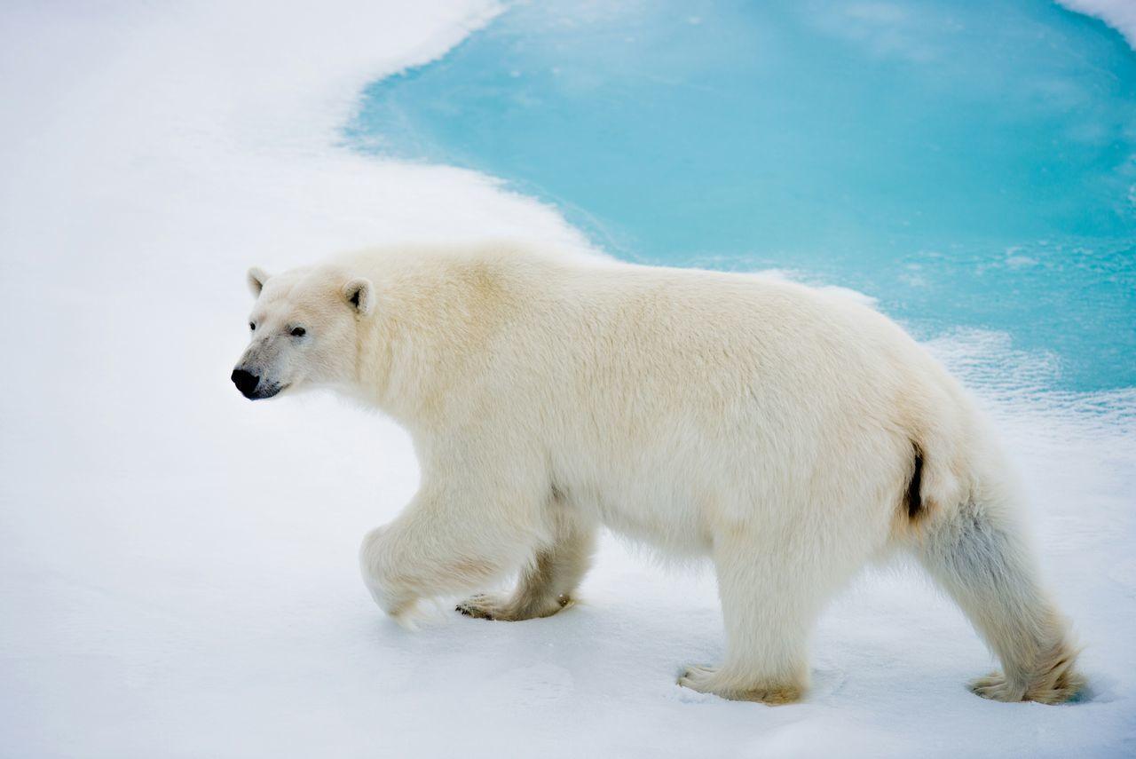 Polar Bear Bear Arctic Svalbard  Ice