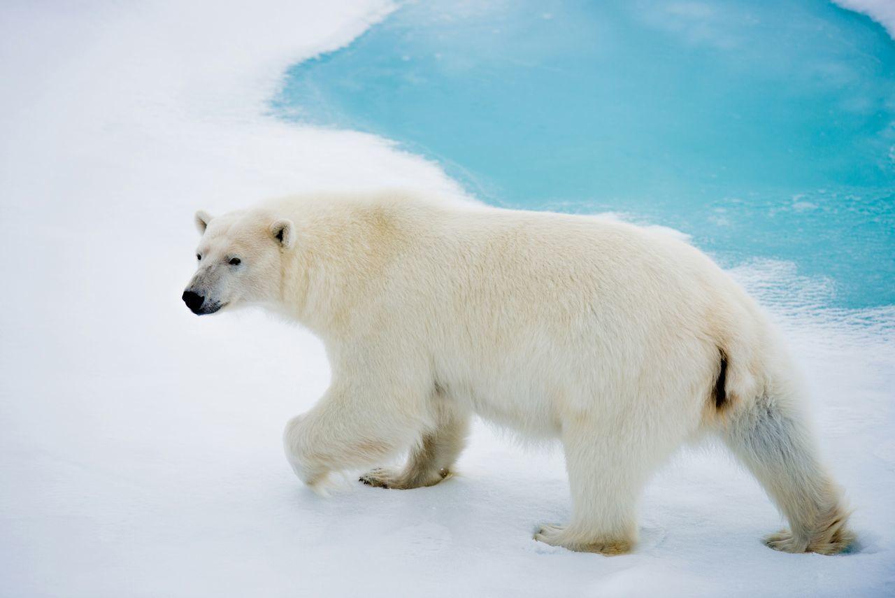 Beautiful stock photos of polar bear, Animal Themes, Animals In The Wild, Bear, Cold Temperature