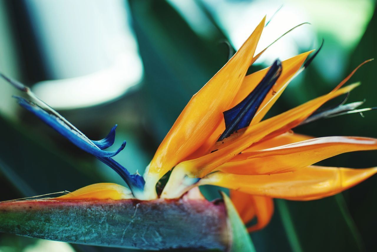 flower, petal, freshness, fragility, beauty in nature, flower head, nature, bird of paradise - plant, growth, close-up, day, plant, outdoors, blooming, no people, day lily