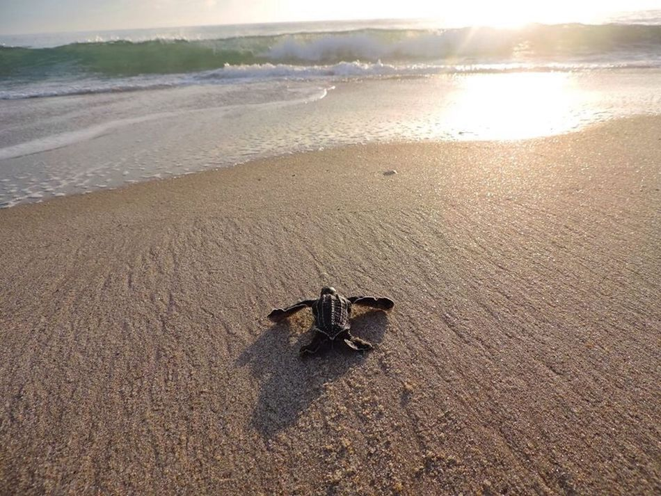 Beautiful stock photos of turtle, Animal Themes, Animals In The Wild, Beach, Crawling