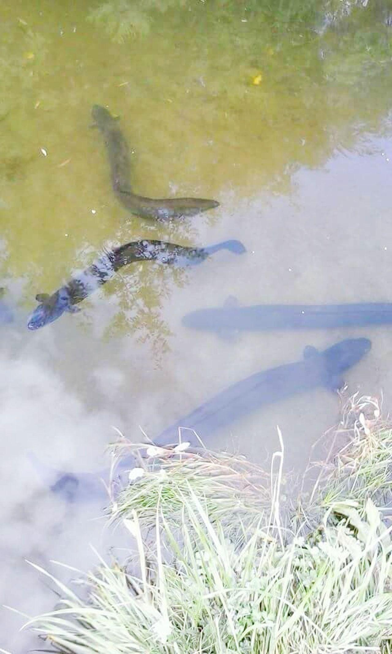 Pond Life Creeklife Stream Life Eels Slippery Yum Yum