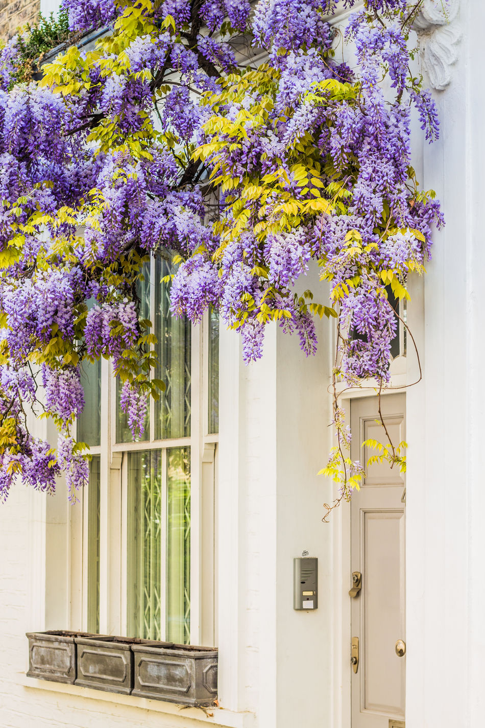 Beautiful flowers draped over a doorway in central London. Springtime in Bloom Architecture Beauty In Nature Built Structure City Life Close-up Day Decoration With Flowers Door Flower Flowers Flowers,Plants & Garden Flowers_collection Freshness Growth Home House Houses And Windows Nature No People Outdoors Plant Purple Spring Flowers Springtime Urban