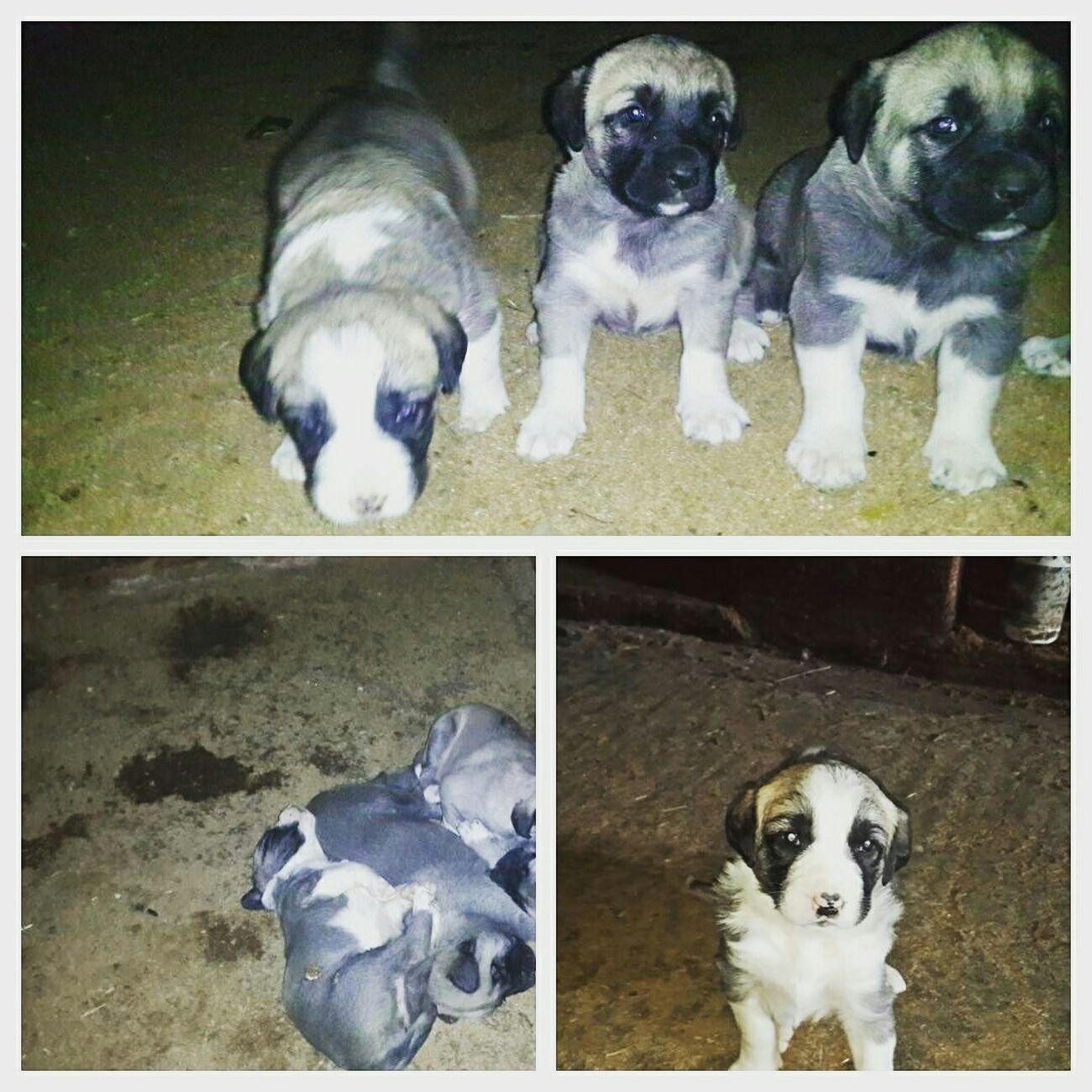 My Life <3 My Little Dogs Taking Photos Lunr Nana Inna Barni Turkish Kangal Hello World