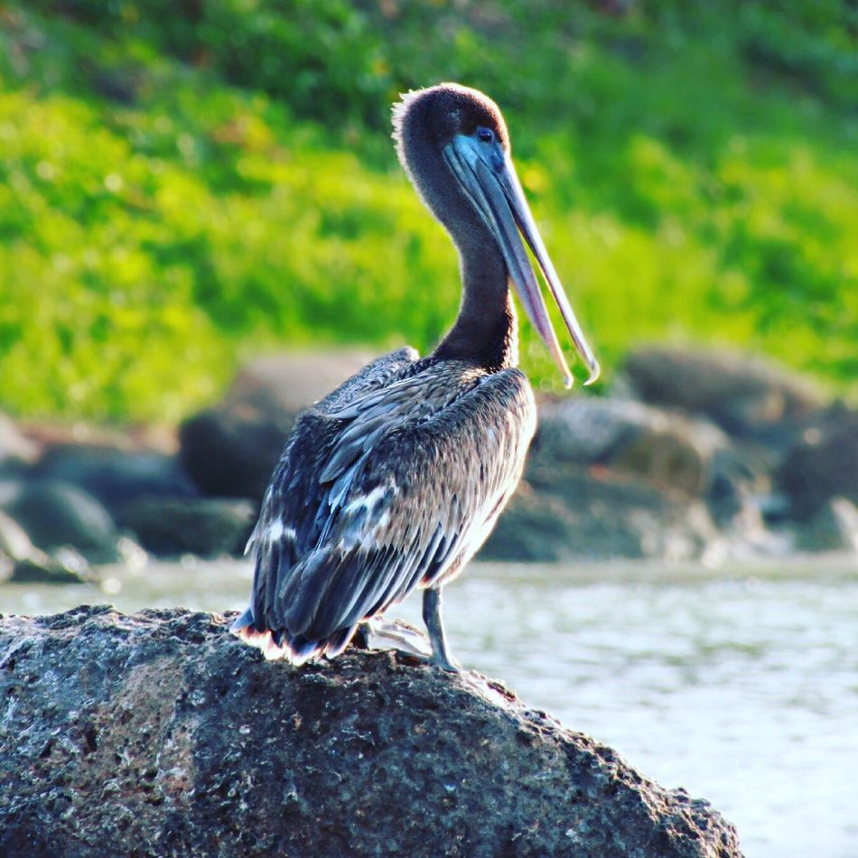 Pelican Animal Themes Animals In The Wild Bird One Animal Focus On Foreground Animal Wildlife Day No People Outdoors Rock - Object Perching Nature Water Beak Close-up Lake Beauty In Nature