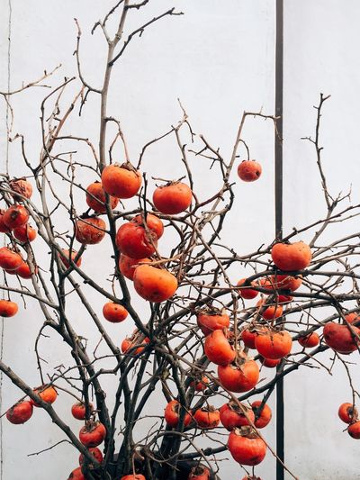 Persimmon Orange Trees EyeEm Nature Lover