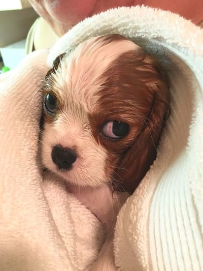 Pet Portraits EyeEm Selects First Bath Puppy Cavalier King Charles Spaniel Pets Dog Wet Dog