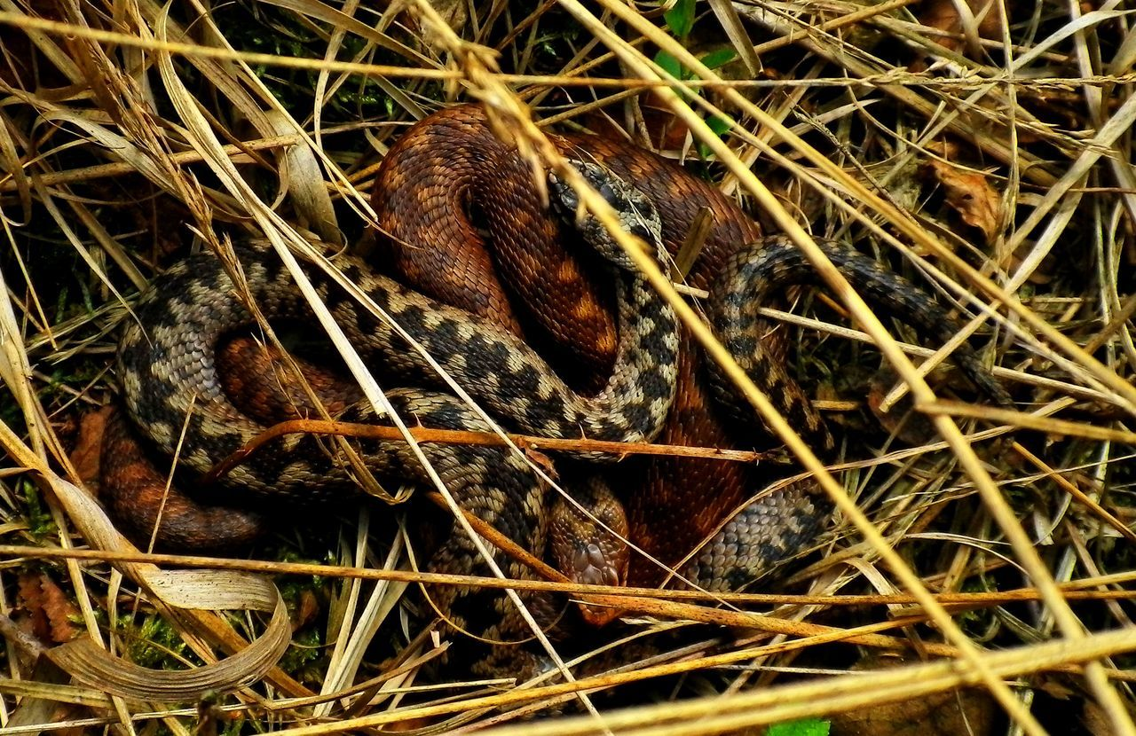 Adder Adders Animal Scale Animal Themes Animal Wildlife Animals In The Wild Close-up Day Field Grass High Angle View Nature No People One Animal Outdoors Reptile Snake Snakes