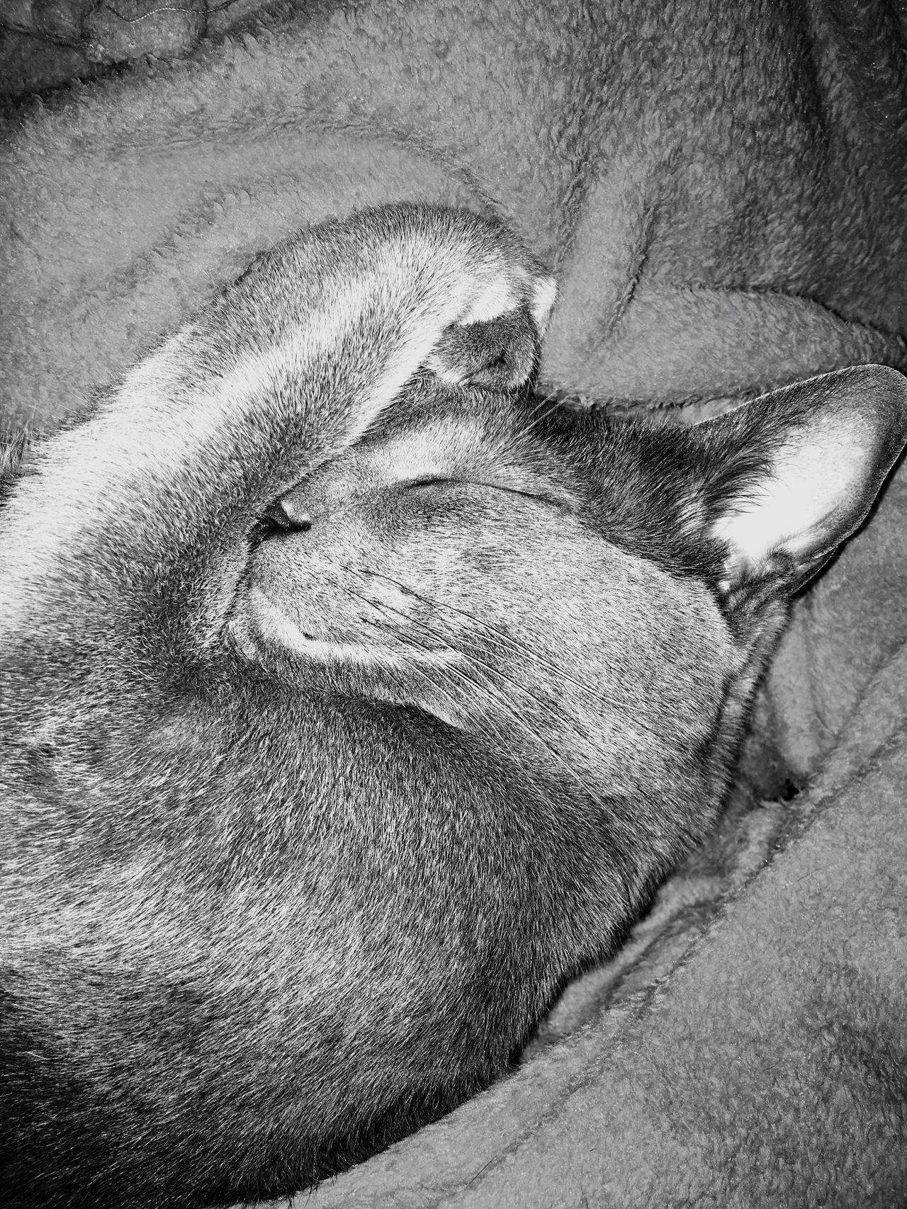 Sleeping beauty 😺 Mammal Animal Themes Domestic Animals One Animal Pets Sleeping Relaxation No People Indoors  Lying Down Close-up Feline Day RussianBlue Cat♡ Russianblues Tardis TardistheCat