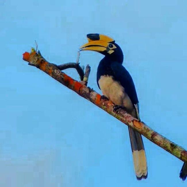 Toucan Langkawai Nature